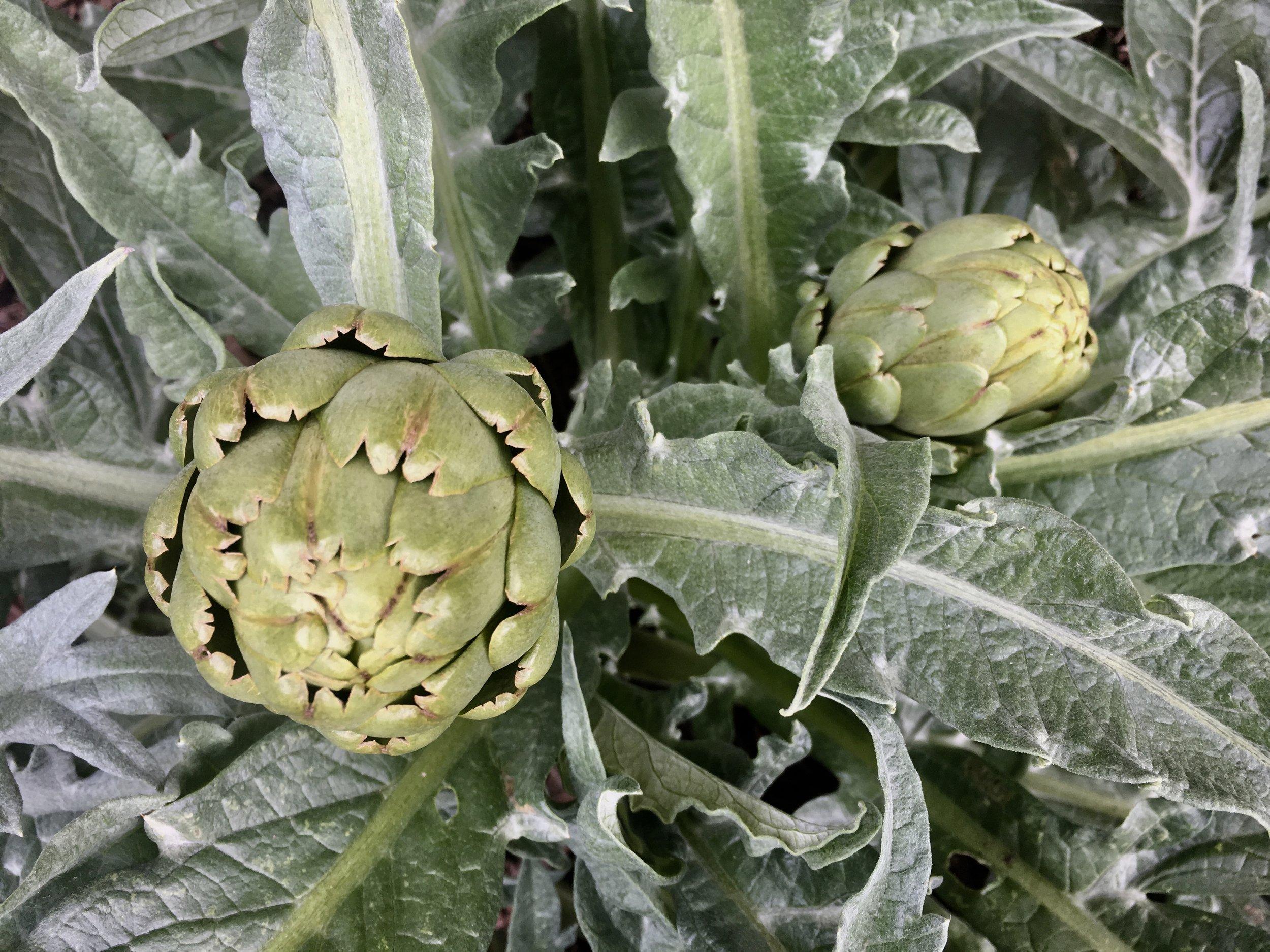 A second crop of artichokes.