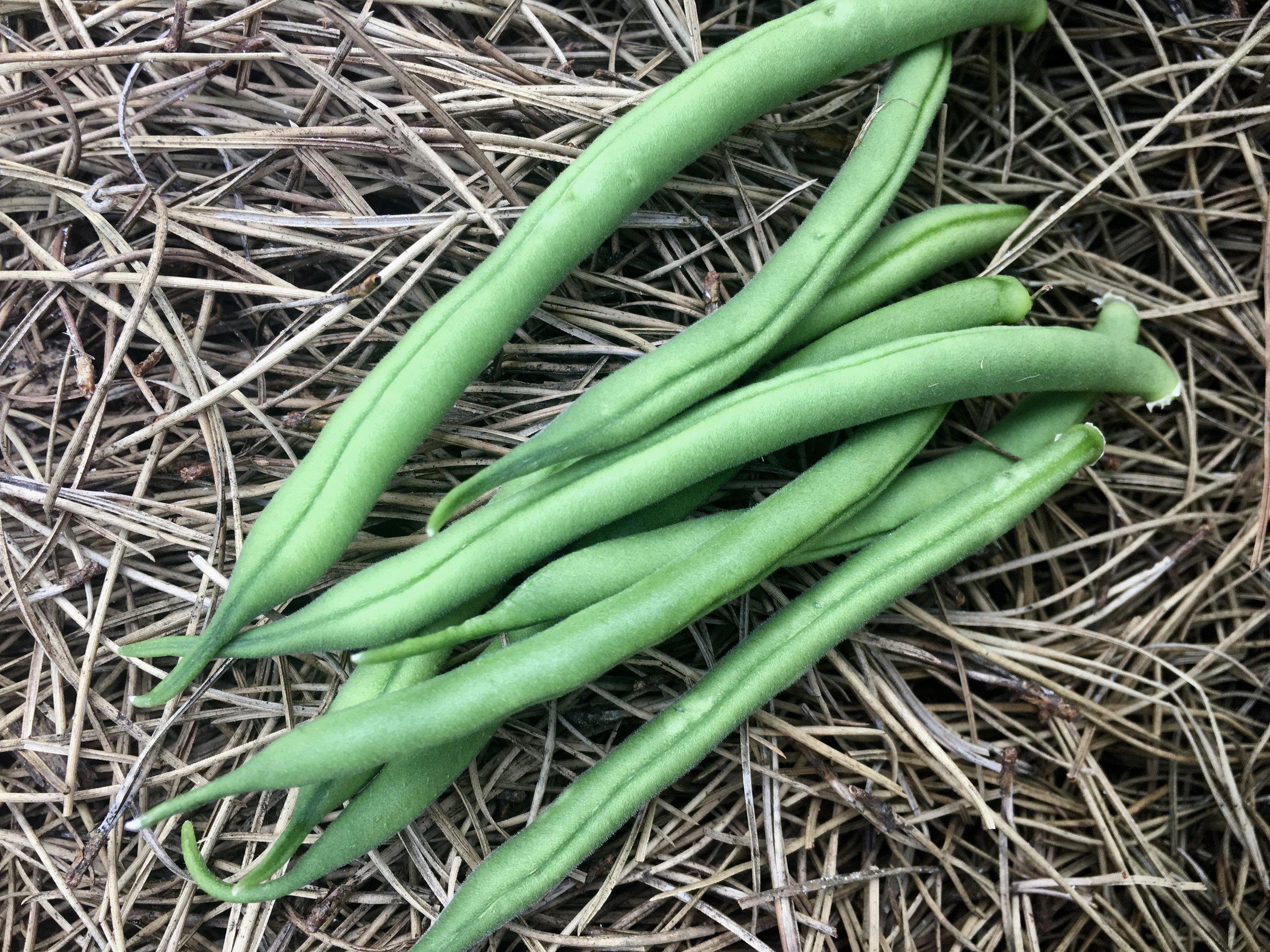 The first bush green beans.