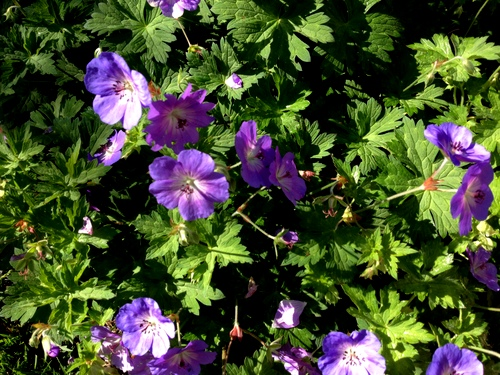 The 'Rozanne' geranium next to the raised beds draws bees to the garden and adds brilliant blue color.