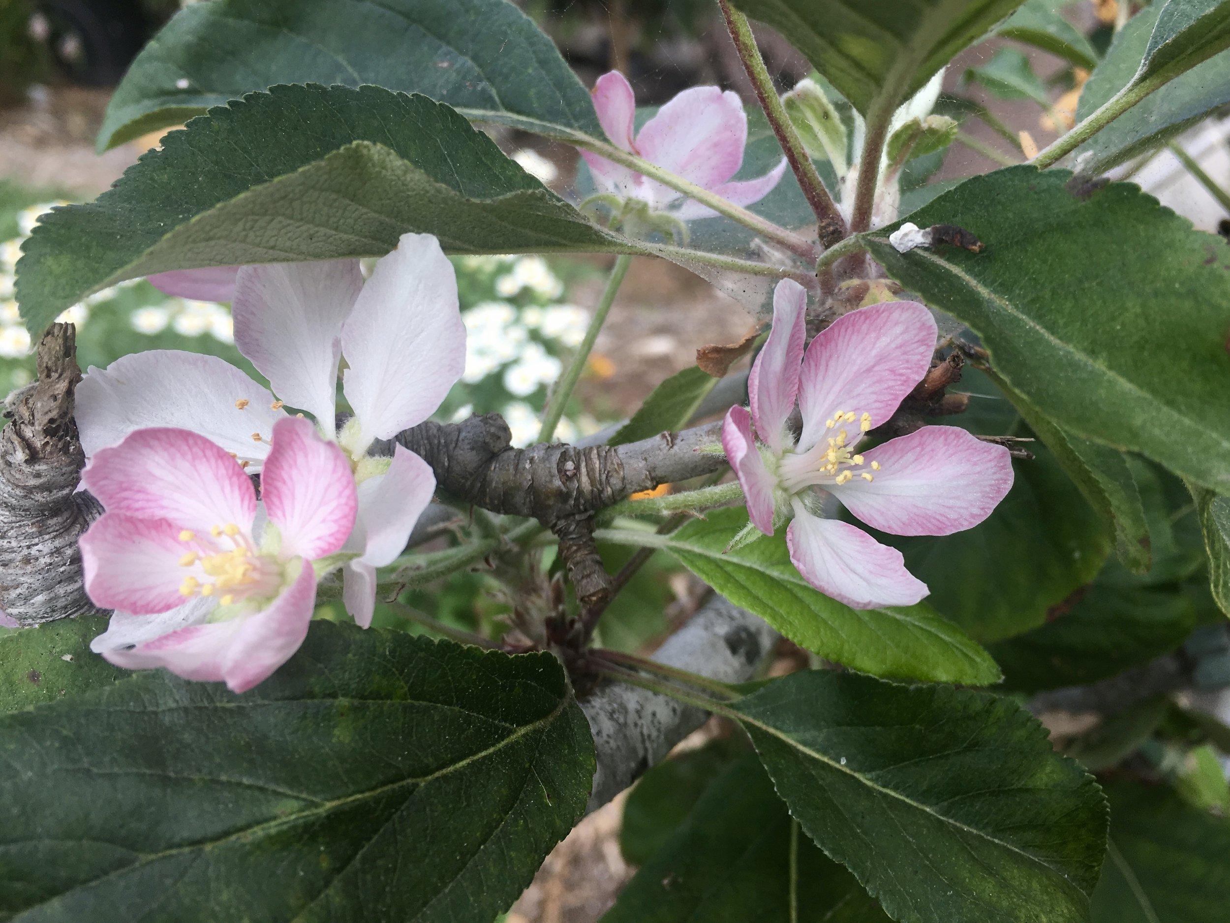 Blossoms for a second crop of 'Dorsett Golden' apples.