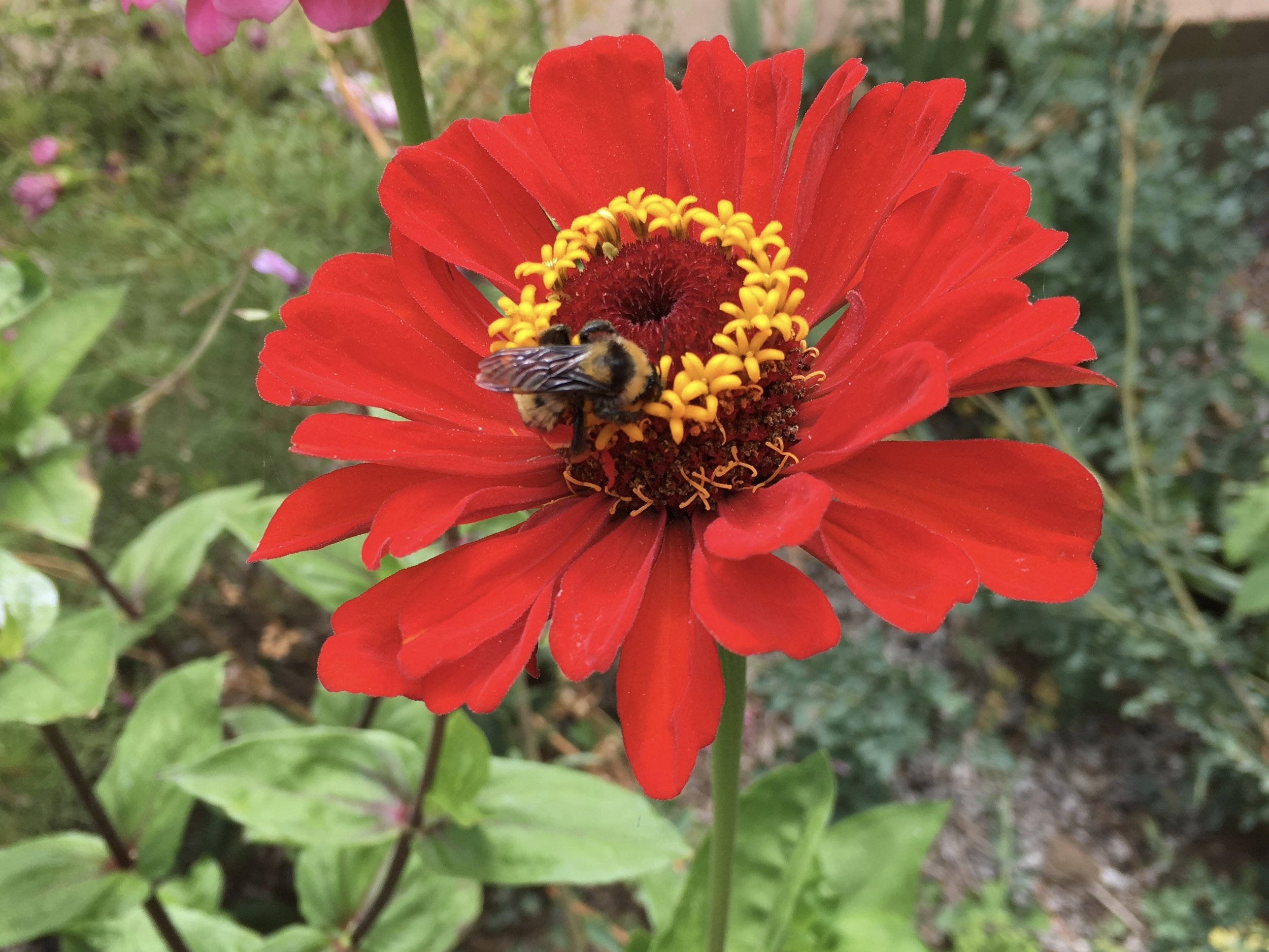 Zinnia and a bumble bee. The bumble bees often sleep on the zinnias.