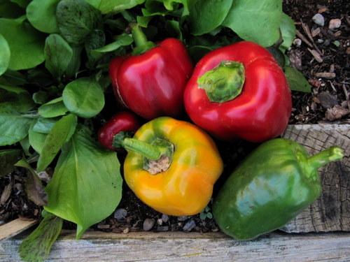 Sweet peppers 92% water