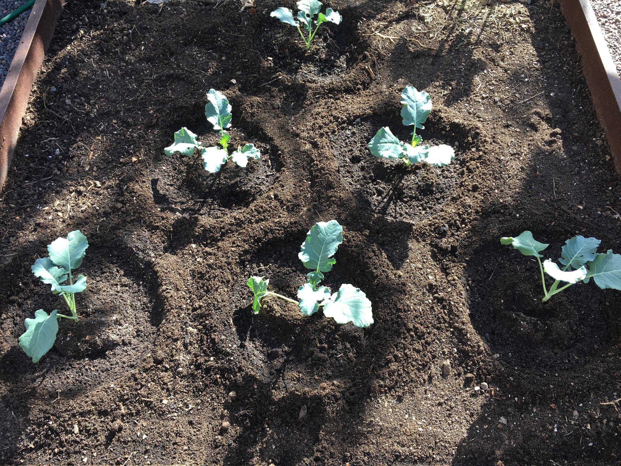Broccoli 'Premium Crop'
