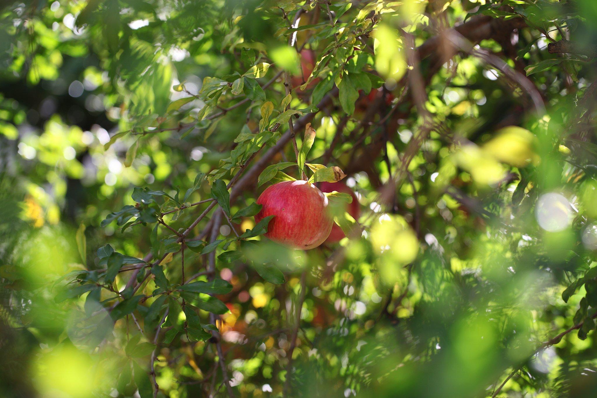 Pomegranate_tree.JPG