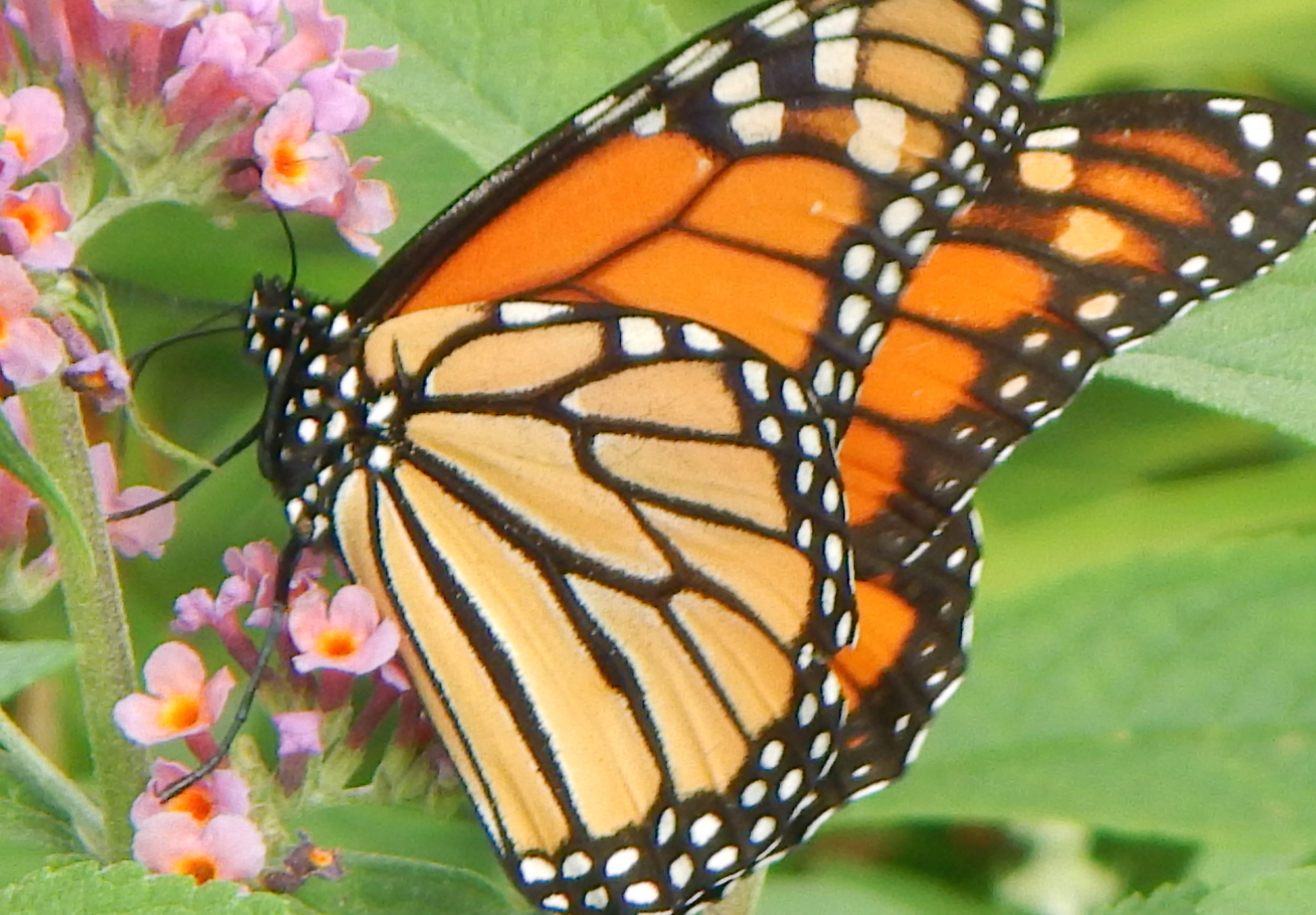 Monarchs are Migrating - REFRESH YOUR GARDEN AND HELP THE MIGRATING MONARCHS BY PLANTING ASTERS, SNAPDRAGONS, BUTTERFLY WEEDS, PHLOX, VERBENAS, AND OTHER NECTAR RICH FLOWERS