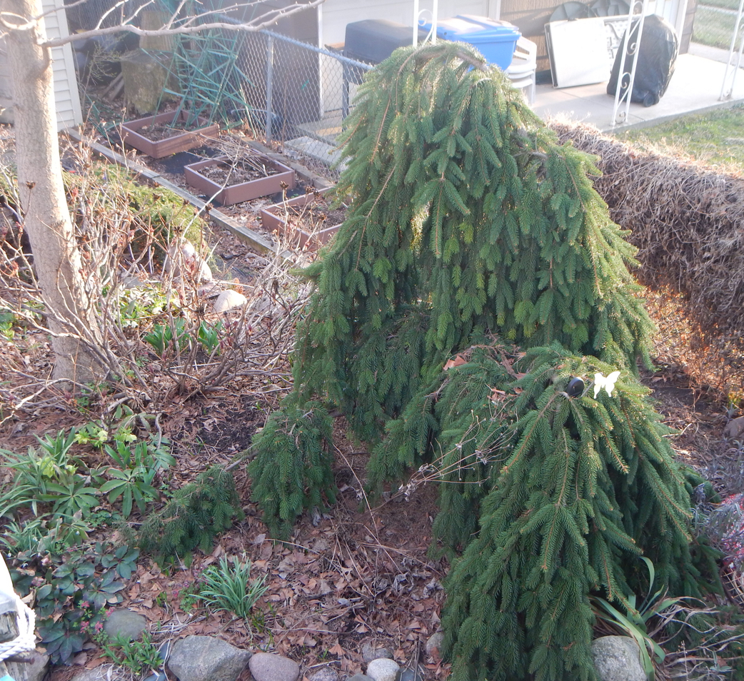 Soak your evergreen trees, shrubs, and hedges so they are well hydrated going into the cold winter months