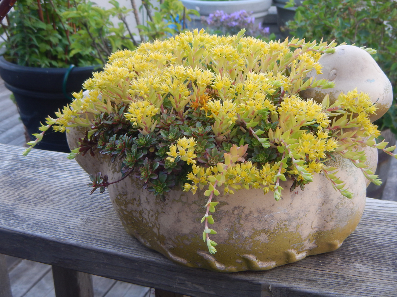 Overall Performance Award 2018 Mossies  Stringy Stonecrop ( Sedum sarmentosum )  Stringy Stonecrop or Gold Moss is a vigorous, chartreuse to lemony groundcover. We've grown it in containers for its short stature, colorful foliage, hanging stolons, and bright yellow, nectar-filled flowers. In ground  Sedum sarmentosum  takes off. It forms a golden carpet in sun or shade, clay or sandy, up to and around larger plants. It's best season is spring, but it looks neat and tidy most of the year.