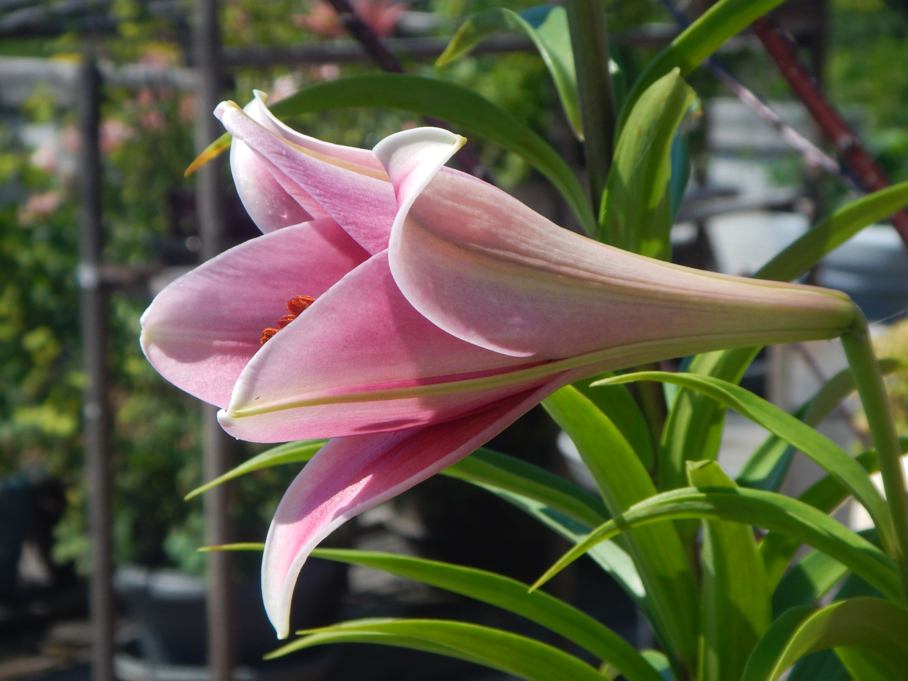 Lily Award   2018 Mossies  Triumphiator Lily ( Lilium  LO 'Triumphiator')  Triumphiator is a LO lily, a cross between Longiflorum and Oriental types. The Oriental parentage imparts hardiness and a perfume scent, while the Longiflorum genes add pastels and flower shape. LO lilies are easy to grow in ground or container. Triumphiator holds its perfumy pink trumpets at eye-level and looks you in the face. The dark pink interior softens to ivory-white along the margins. These strong growers are perfect for bouquets.