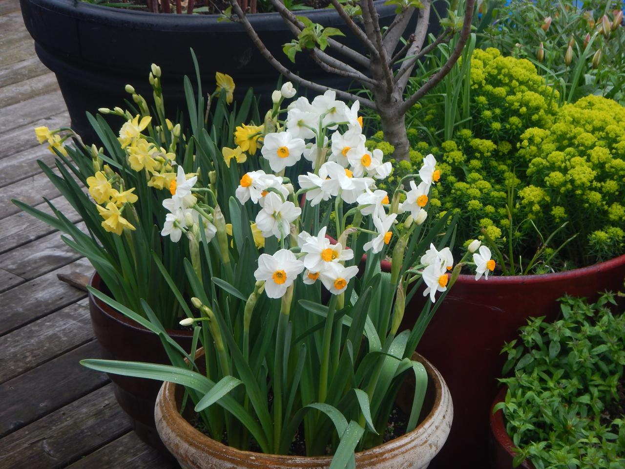 Daffodil Award2018 Mossies - Geranium Daffodil (Narcissus  'Geranium')