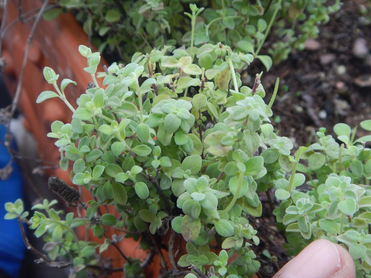 Herb Award 2018 Mossies  Marjoram ( Oregano majorana )  My favorite herb. To my wife's chagrin, I use it on everything. Marjoram has a mild sweet flavor compared to its more pungent siblings oregano and Za'atar. Marjoram grows well in ground or containers, and attracts beneficial insects to the garden. Harvest regularly for the best tasting leaves. Dry thoroughly. Store in glass containers. As a tender perennial, it is also much less aggressive than oregano.
