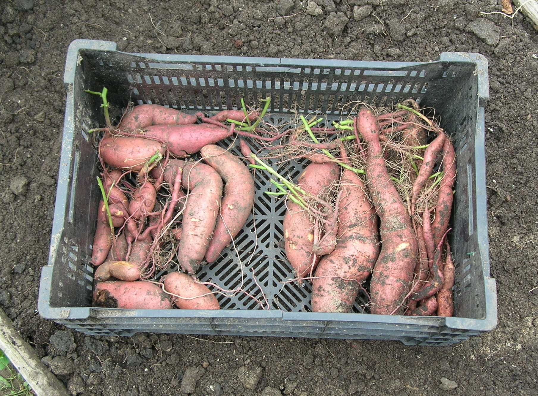 Dr. Carver touted sweet potatoes as a reliable crop.