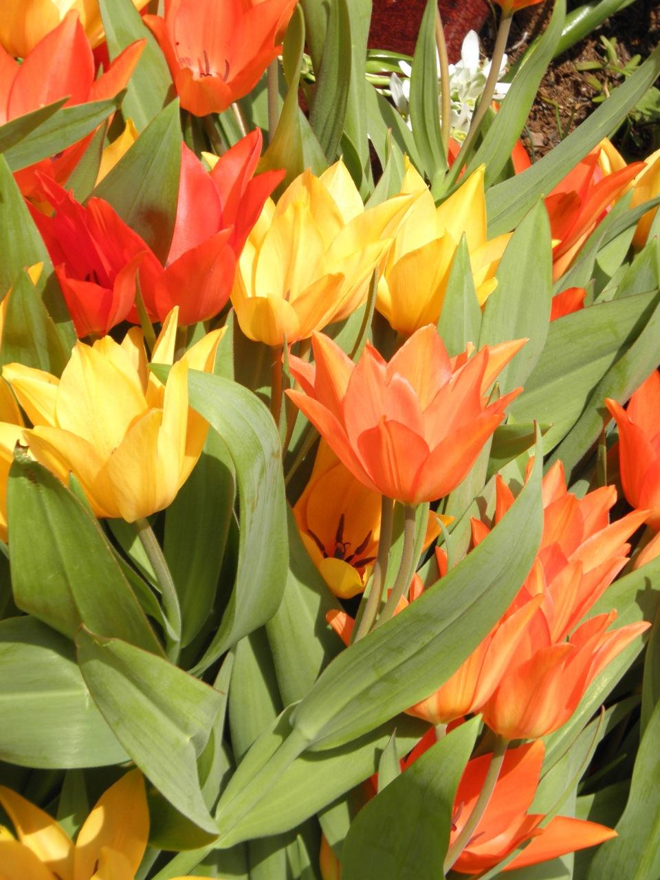 tulipa-pratense-shogun-flowers.jpg