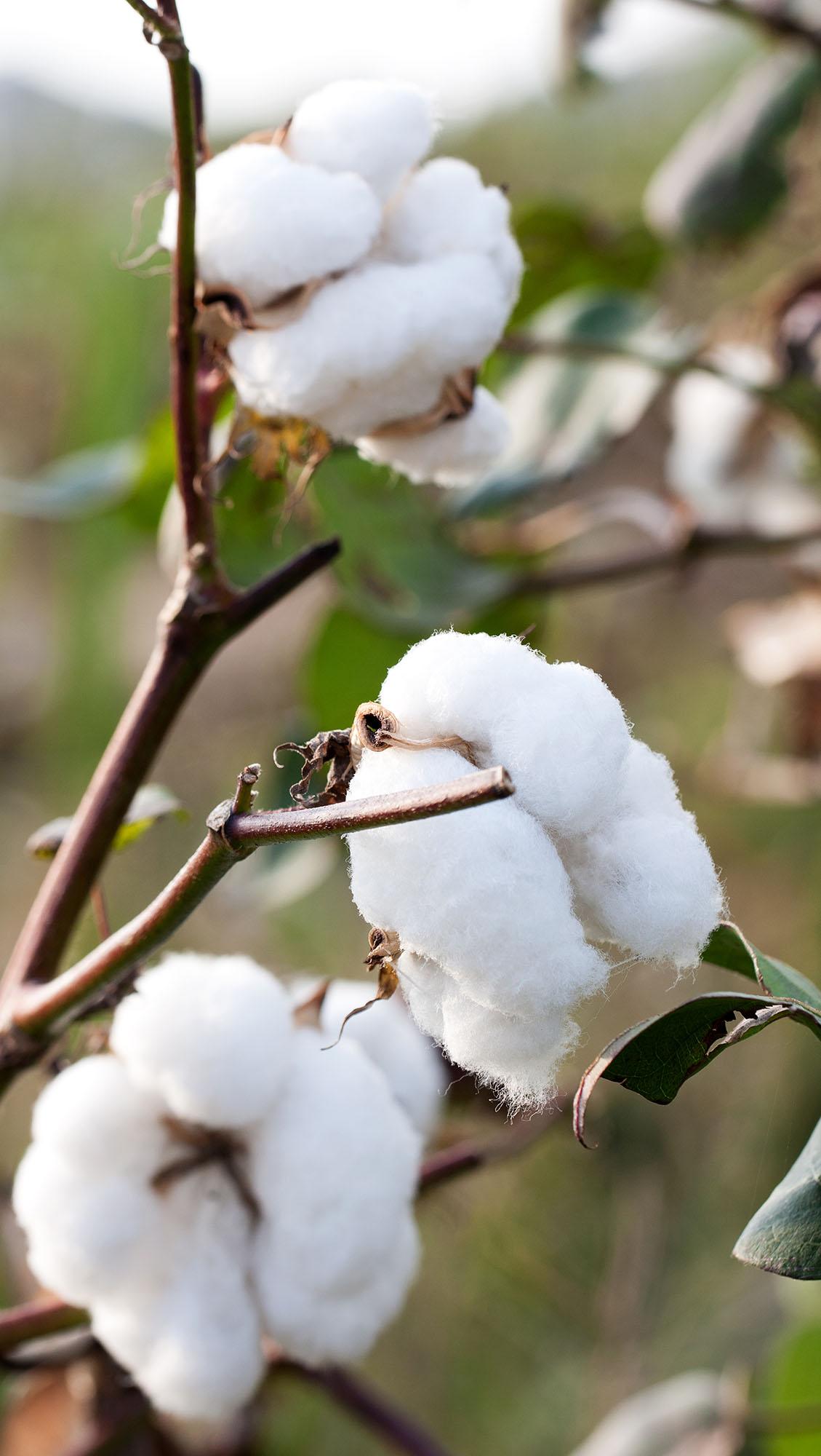 Bio-Baumwoll-Frucht    Organic cotton plant