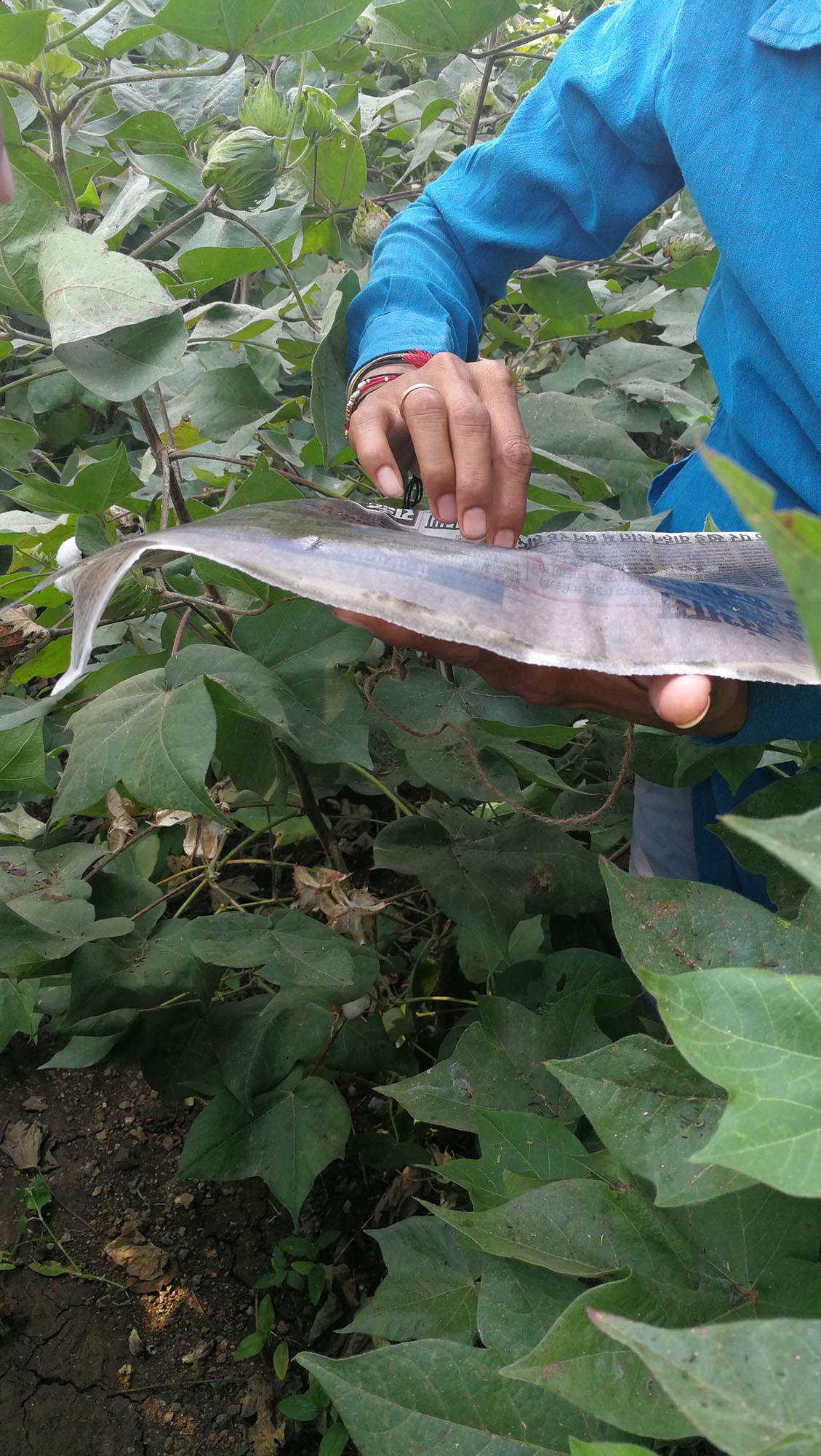 Natürliche Schädlingsbekämpfung mit Kuh-Urin /  Biological pest control with cow urin