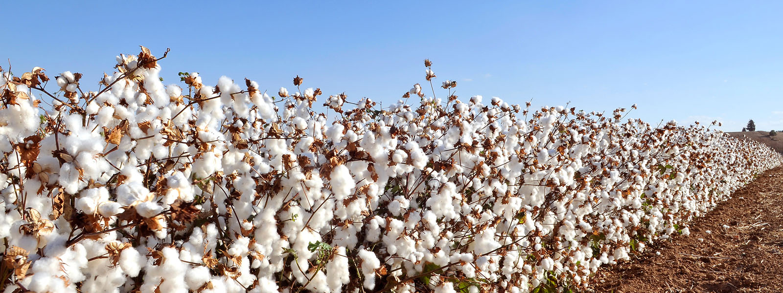 Cotton-Field-620997696_4474x2590.jpg
