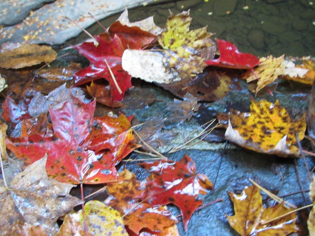 Maples, sycamores,