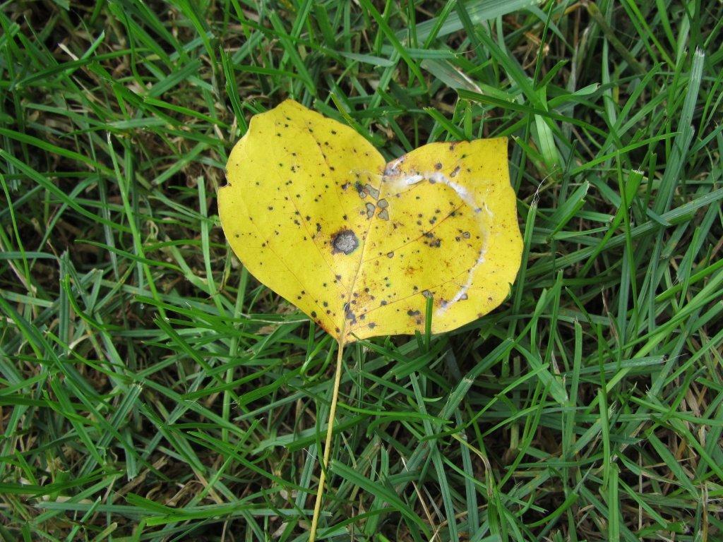Tulip poplar leaf