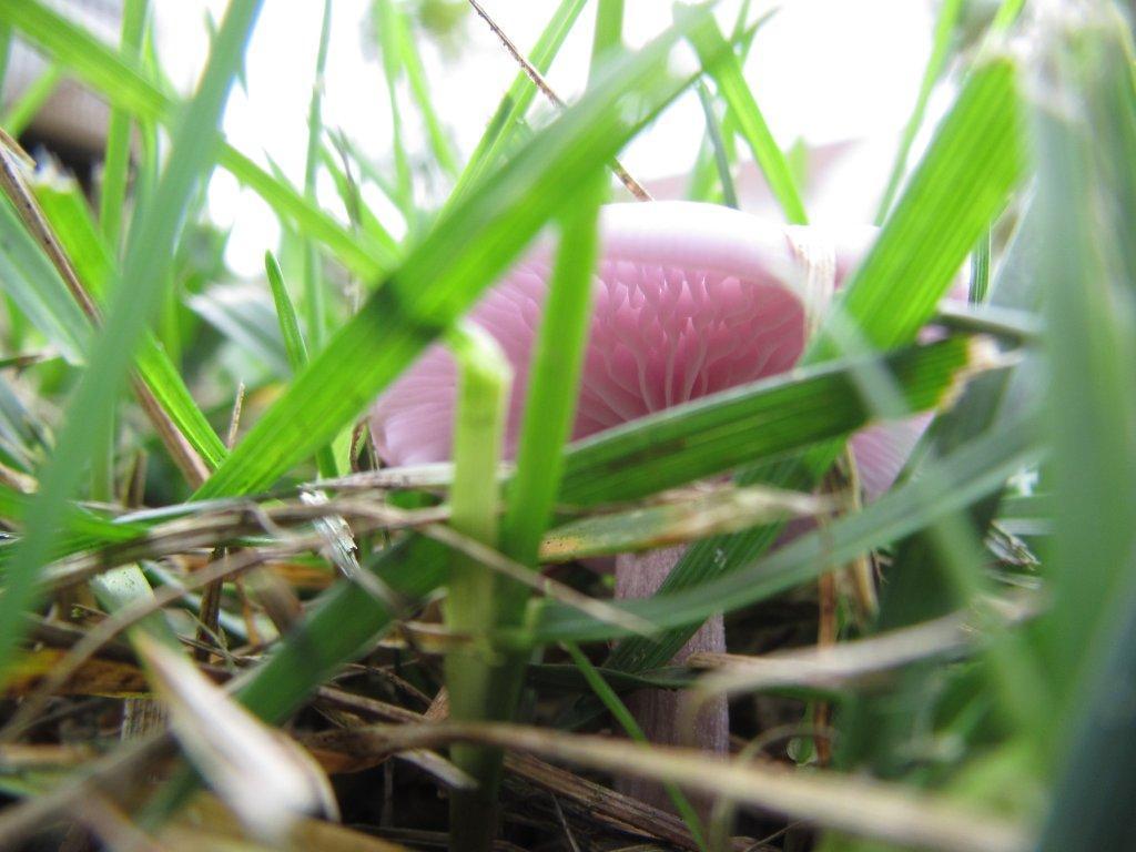 Pink mushroom in the grass