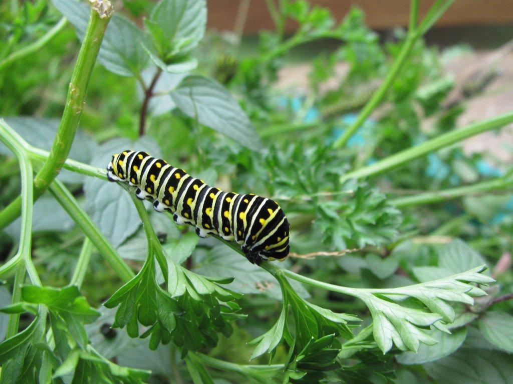 Black swallowtail caterpillar on parsley