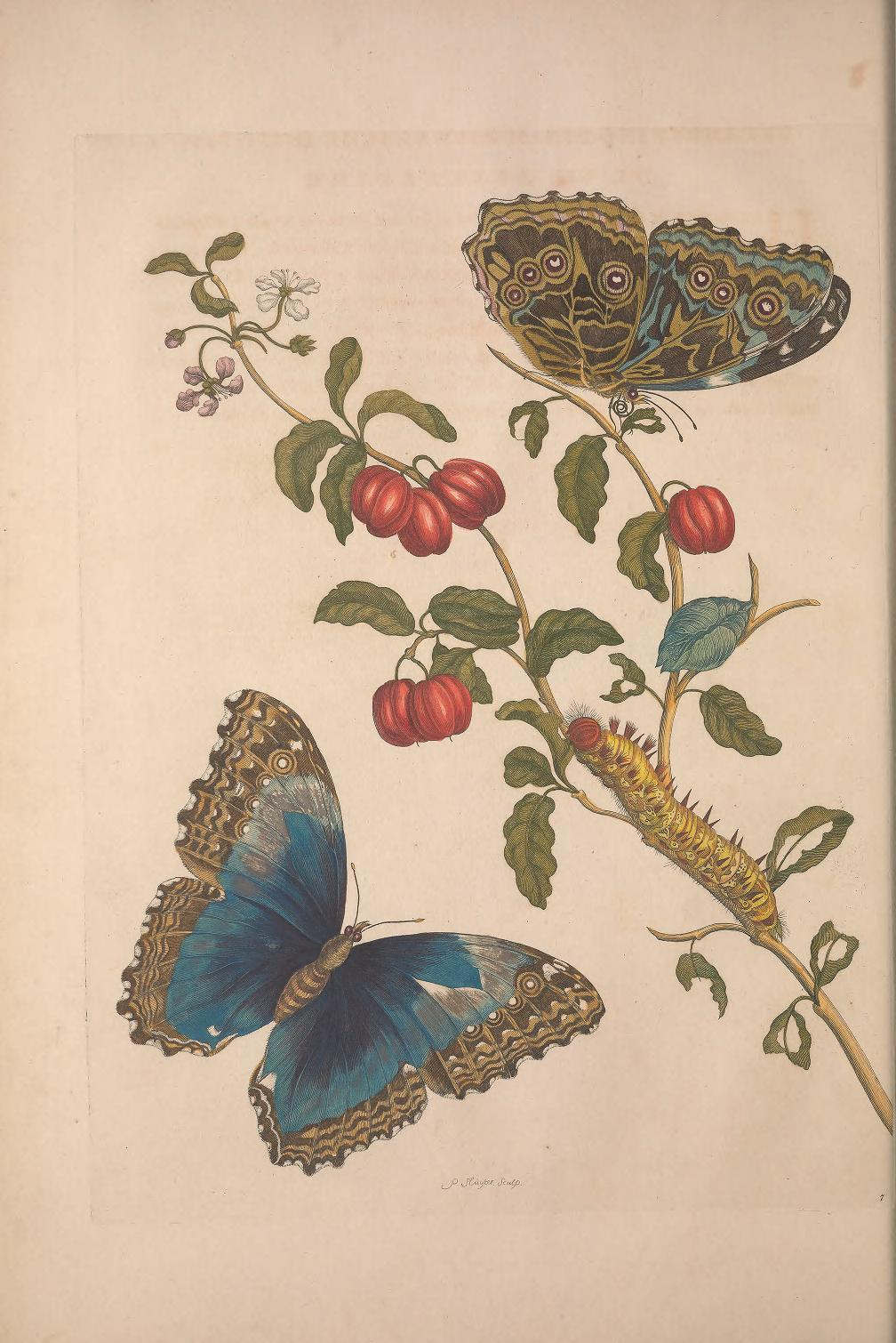 - Merian, Maria Sibylla. Metamorphosis insectorum surinamensium. Amsterdam: 1705. Available on Internet Archive here. An early book about butterflies…and their caterpillars. Merian was a leading entomologist in the early 1700s…and was one of the first to publish color images of insects…particularly documenting metamorphosis of butterflies.