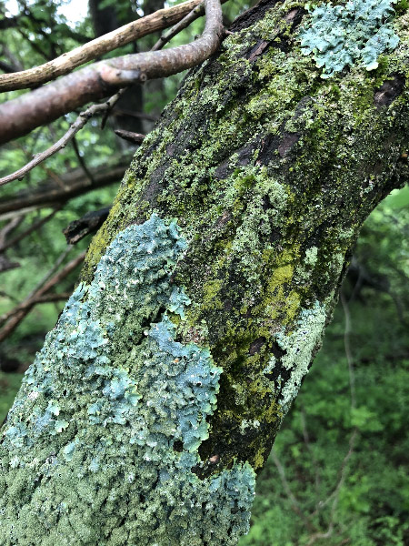 - The lichen and moss seemed to have richer colors because of the dampness all three days of this year's BioBlitz.