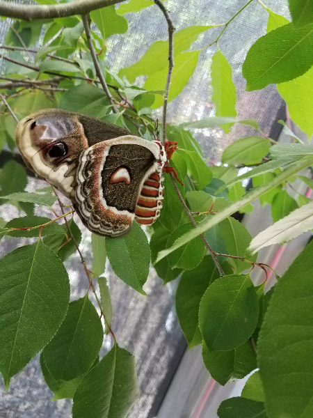 - During one calm morning in the caterpillar house, there was a female cecropia moth that had emerged from a cocoon – on that grew as a caterpillar in the caterpillar house last summer and overwintered at Brookside. It was released in the garden later that day. The moths don't eat as adult…they simply try to find a mate and lay then lay eggs.