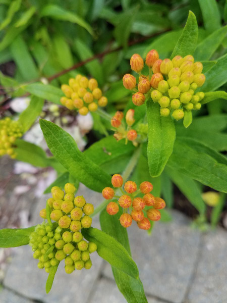 - The butterfly weed was about ready to bloom as well.
