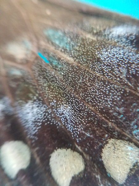 - I had my clip on macro lens for campers that were using cell phone cameras. The tattered butterfly wings were popular objects for that experimentation.