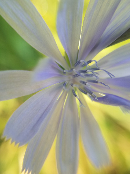 - There are always chicory flowers after each rain. I liked the blurs of yellow and green behind this macro image.