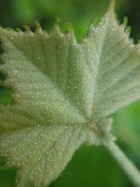 - There are still new leaves being unfurled on the tree too; this one was about the size of a dime.
