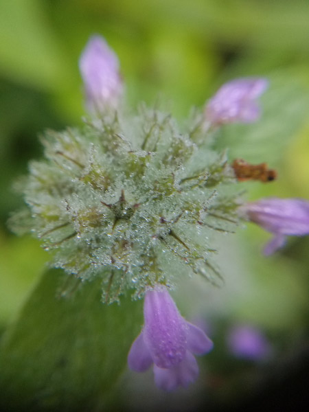 - This mint flower – taken from above with the macro lens – was coated with morning dew.