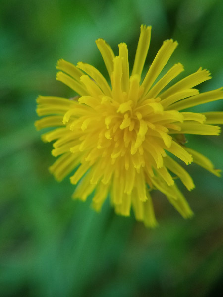 - Dandelions are always attention getters. They look a bit like bursts of fireworks…or yellow streamers.