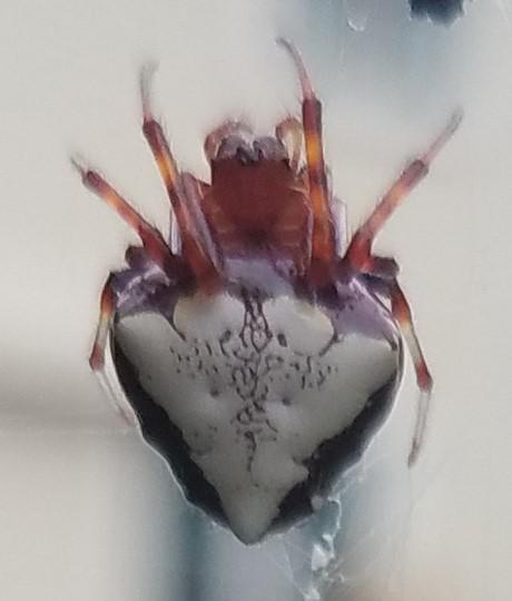 2018 08 red spider clip1.jpg