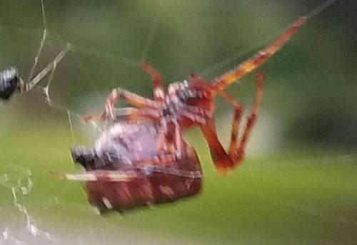 2018 08 red spider clip3.jpg
