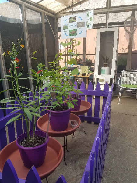 - The caterpillar house in August featured a white case (for the saddleback caterpillars) and then places for 3 pots (starring cecropia moth and monarch butterfly caterpillars).