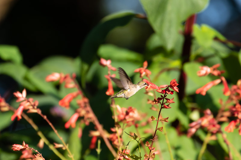 2018-08-26-Brookside hummingbirds-149.jpg