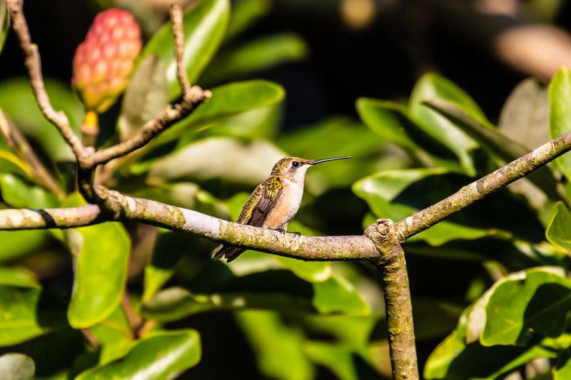 2018-08-26-Brookside hummingbirds-182.jpg