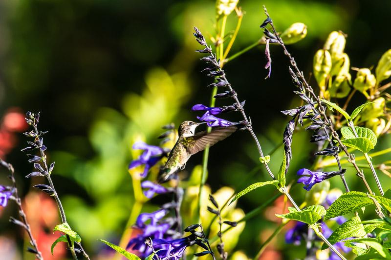 2018-08-26-Brookside hummingbirds-425.jpg