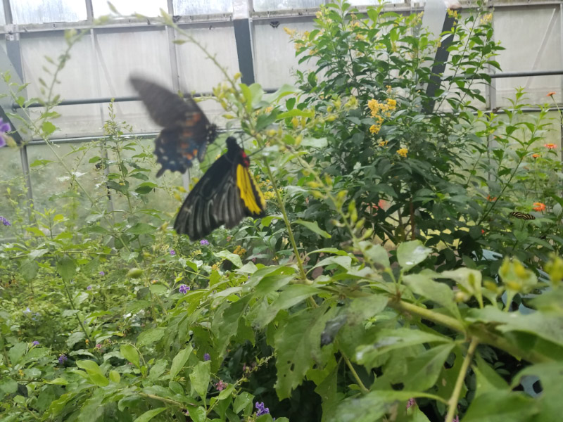 - A Birdwing resting – being harassed by a smaller butterfly