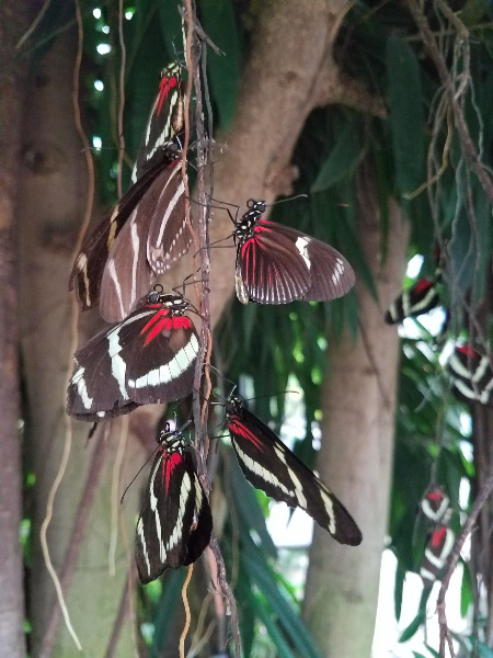 - Sleeping late (butterflies roosting long past sunrise because it was so cloudy – mostly Longwings)