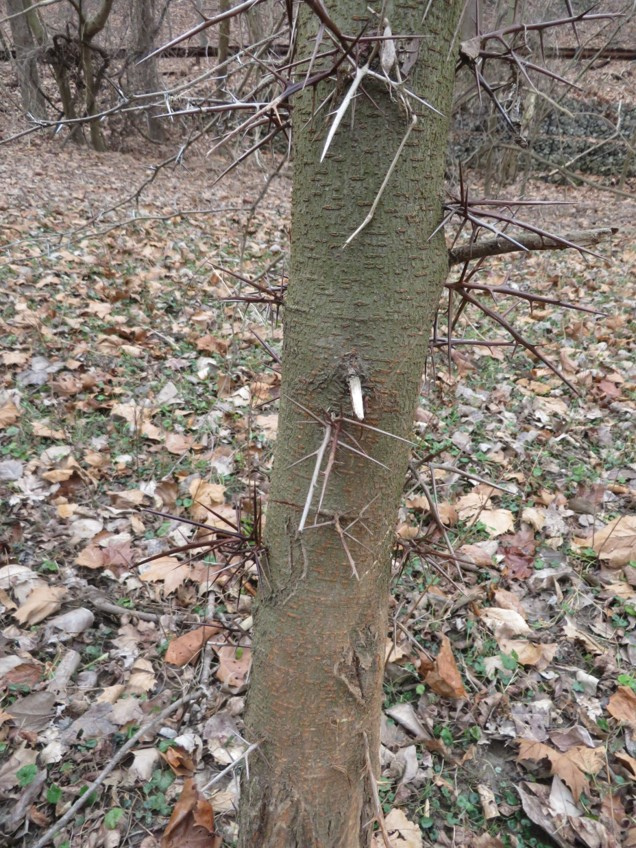 - Sometime thorns can be an identifying characteristic – like with the honey locust.
