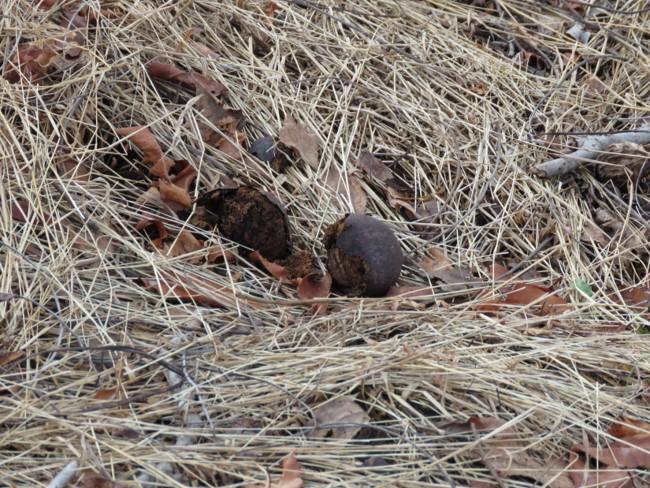 black walnut3.jpg