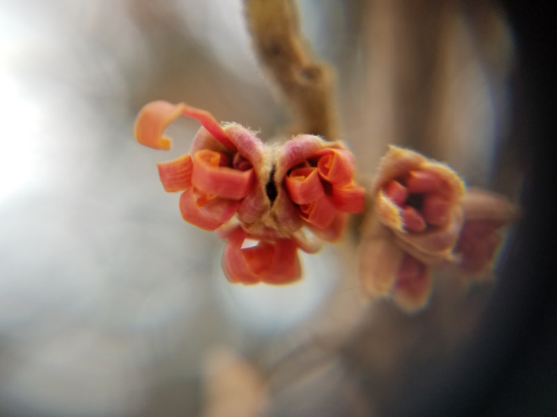 - Witch hazel blooming – What a thrill to find the burst of color in the browns, dark greens, and whites of a winter day! I like that the petals are like little streams as well…. appropriate for a celebration.