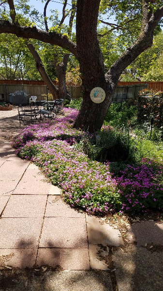- I am visiting my parents this week in Carrollton TX and their garden is responding to the warmer weather. Mounds of oxalis line the large patio – carpeting the partial shade area under the mulberry trees.
