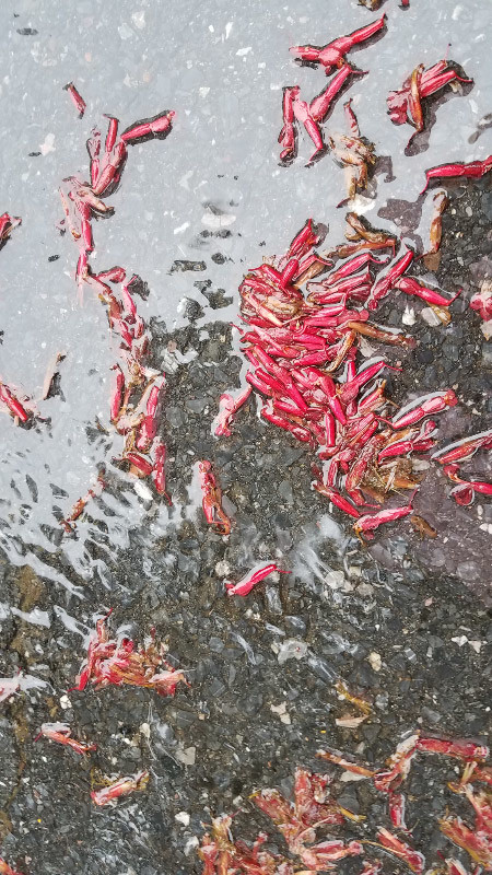 - On the second morning, the two buckeye trees that are at the edge of the parking lot were shedding their flowers. The flowers retained their color on the pavement as the water rippled and moved them into clusters.