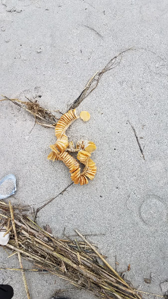 - There were also whelk egg cases. Our guide encouraged us to open them to find the small shells inside – whelks that were never grow to adulthood because their egg cases have become detached from their anchor in the sea and washed to the shore.