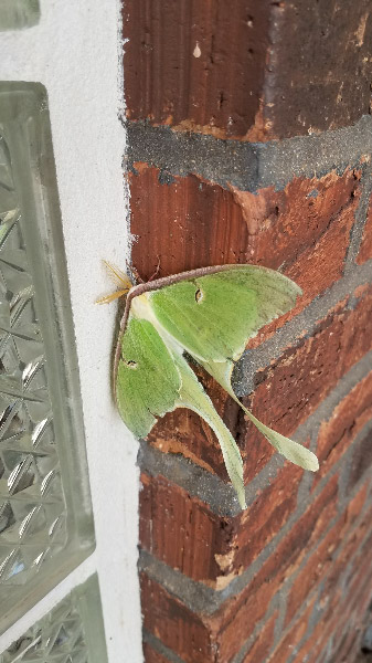 - A serendipity find at a rest stop off I-44 in Missouri: a Luna moth! They are such a lovely color – a creamy green jade – and the shape with the long tails is appealing too.