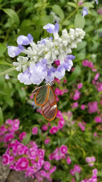 - There were more clearwing butterflies in the conservatory that earlier in the season – enough that I saw one or two during most of my shifts.
