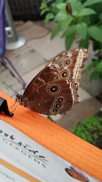 - The overall favorite for most people is the blue morpho; it's one of mine too although for more than the blue color…I like the orange markings on the underside and body too. I manage to get some quick pictures during times when there are very few or no visitors in the exhibit.