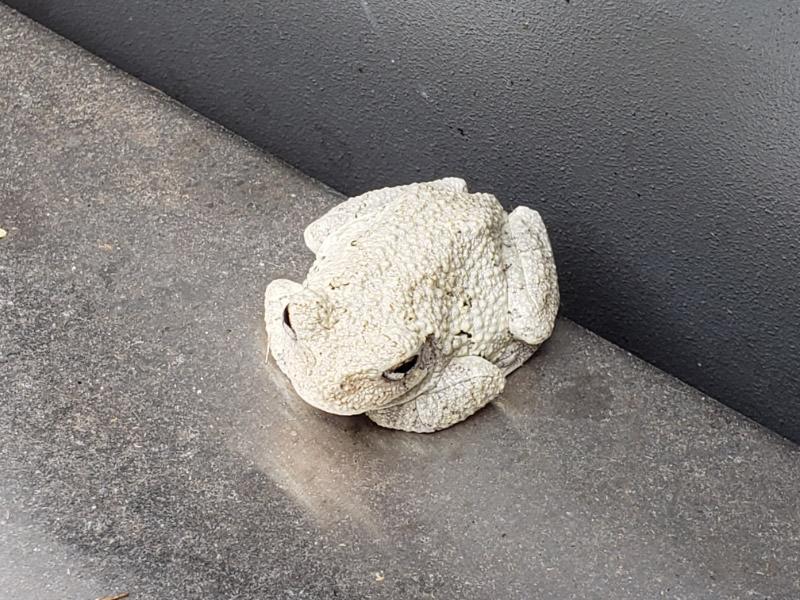 2019 08 gray tree frog1.jpg